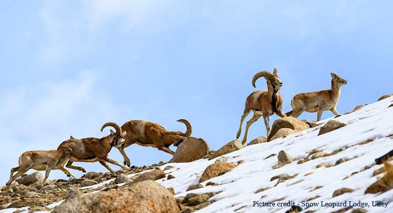 Winter Experience – The Endangered Himalayan Wildlife In Ladakh