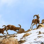 Snow Leopard Lodge pic - Urial herd