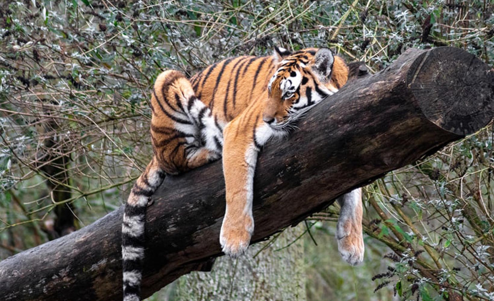 International Tiger Day: Did you know these facts about Tigers?